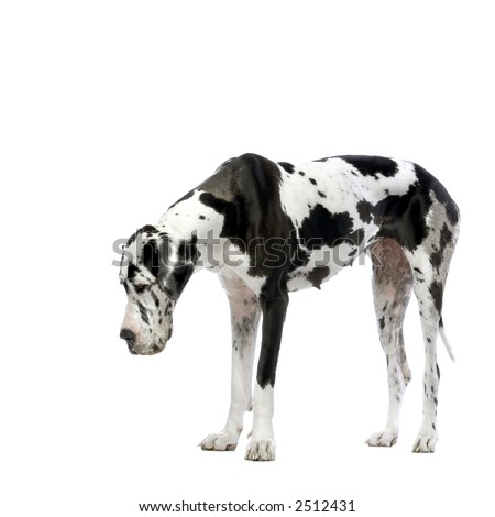 Great Dane HARLEQUIN looking down in front of white background - stock photo