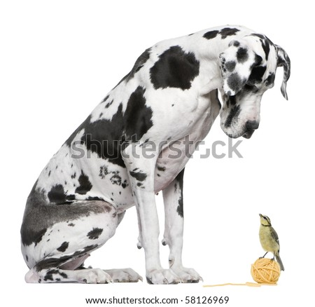 Great Dane Harlequin sitting in front of white background looking at a Blue Tit bird - stock photo