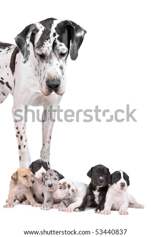 great dane harlequin with puppies isolated on a white background - stock photo