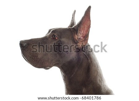 great dane head profile with ears cropped on white background - stock photo
