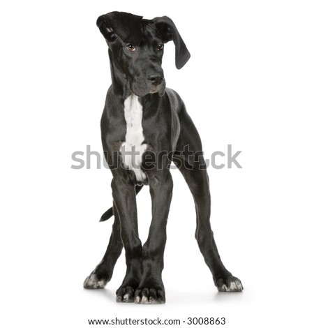 Great Dane in front of a white background - stock photo