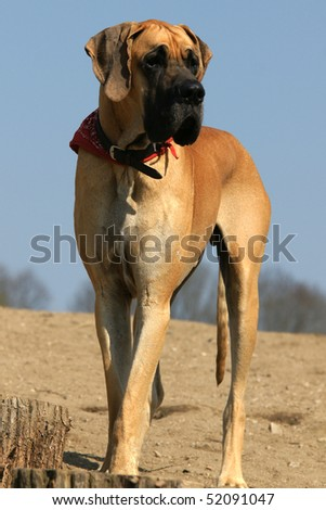 Great Dane is looking for something in a river