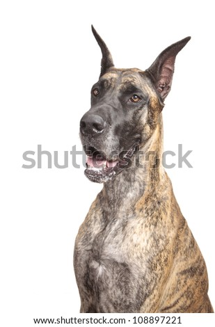 Great Dane isolated on a white background - stock photo