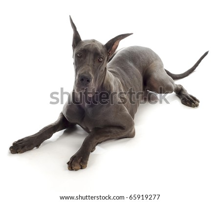 great dane laying down on white background - 10 month old puppy - color is called blue - stock photo