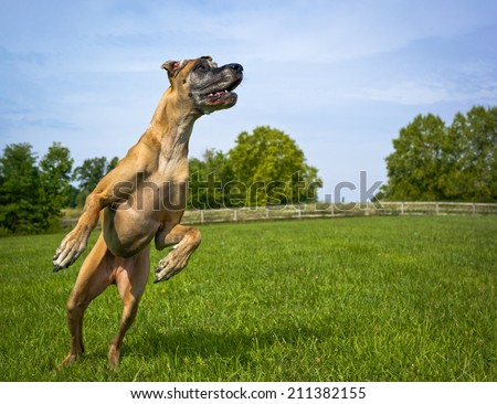 Great Dane leaping on hind legs looking right, no ball - stock photo