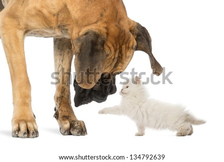 Great Dane looking at a kitten, isolated on white - stock photo