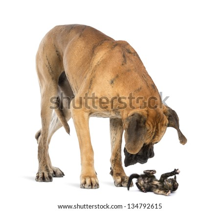 Great Dane looking at a kitten lying on its back and attacking, isolated on white - stock photo