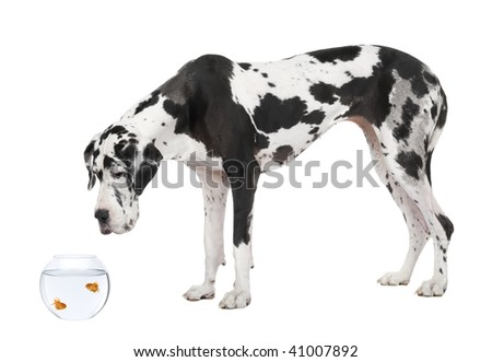 Great Dane looking at goldfish in fish bowl in front of white background, studio shot - stock photo
