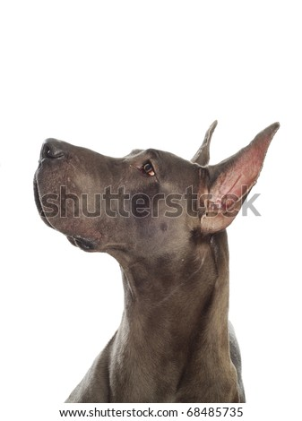 great dane looking up with cropped ears on white background - stock photo