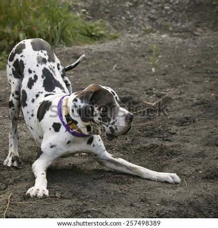great dane or dogue alleman in playing position - stock photo