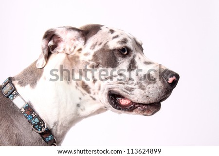 Great Dane profile with merle coat on a white background