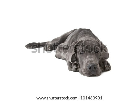 great dane puppy four month old isolated on white, great dane puppy - stock photo