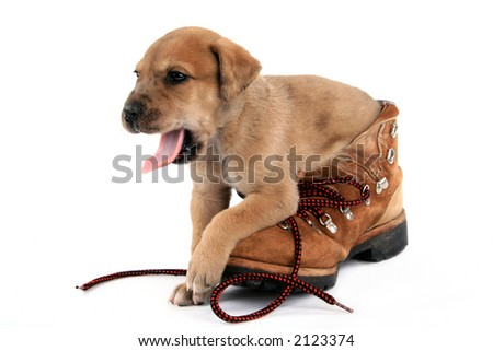 Great Dane puppy gets ready to bed down in work boot - stock photo