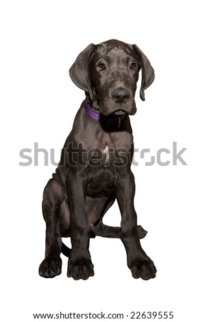 Great dane puppy in front of white background