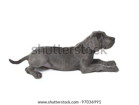 great dane puppy laying down , blue great dane puppy - stock photo