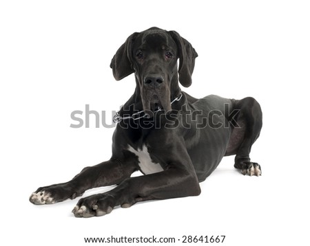 Great Dane puppy (7 months old) in front of a white background - stock photo