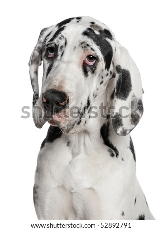 Great Dane puppy, 6 months old, in front of white background - stock photo