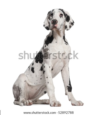 Great Dane puppy, 6 months old, sitting in front of white background - stock photo