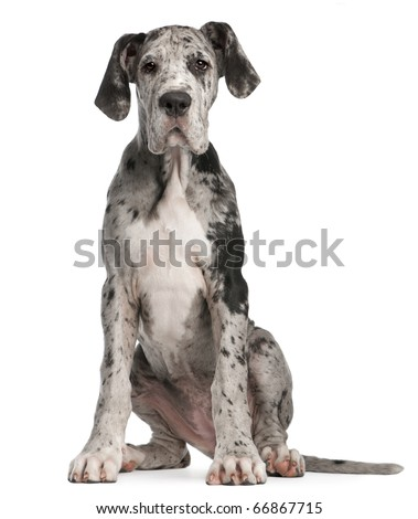 Great Dane puppy, 3 months old, sitting in front of white background - stock photo