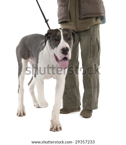 Great Dane puppy on a leash (6 months old) in front of a white background - stock photo
