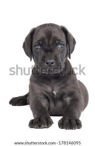Great Dane puppy on a white background - stock photo