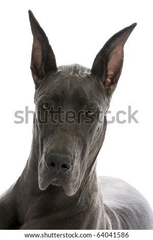 great dane puppy portrait - blue colour - 9 months old - stock photo