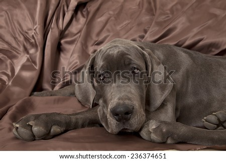 Great dane puppy portrait, great dane puppy - stock photo