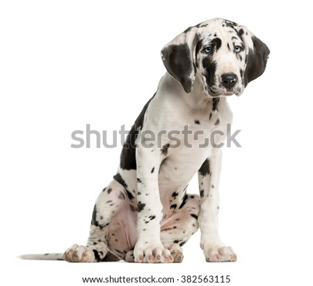 Great Dane puppy sitting in front of a white background