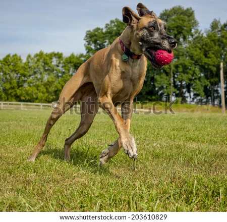 Great Dane running with ball in mouth - stock photo