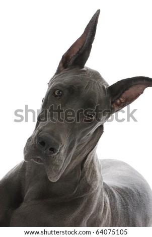 great dane with cropped ears - nine months old - stock photo