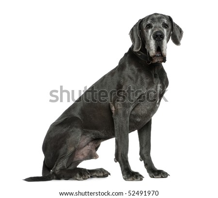 Great Dane, 6 years old, sitting in front of white background - stock photo