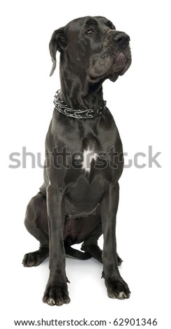 Great Dane, 5 years old, sitting in front of white background - stock photo