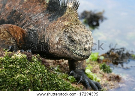 Great detail shows the texture of the skin on the Marine Iguana. Shot on the galapagos Islands, Ecuador