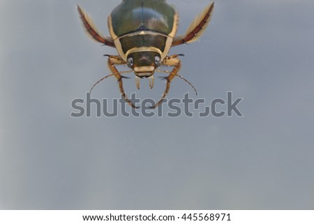 Great diving beetle - stock photo