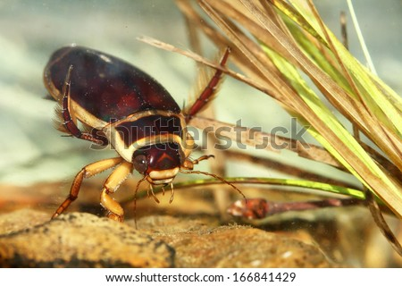 Great diving beetle (Dytiscus marginalis) - stock photo