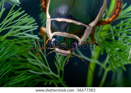 great diving beetle insect swimming underwater water bug dytiscus marginalis close up portrait big aquatic endangered species living in freshwater ponds - stock photo
