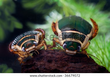 great diving beetle swimming water insect bug underwater male and female animal of freshwater pond  wildlife dytiscus marginalis close up portrait - stock photo