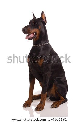great doberman  on a white background