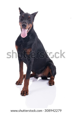 great Doberman Pinscher isolated on white background - stock photo