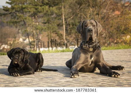 great dog and cane corso dogs - stock photo
