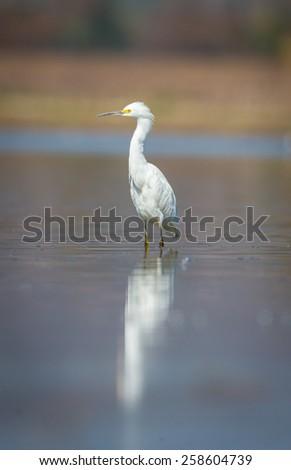 Great Egret, - stock photo