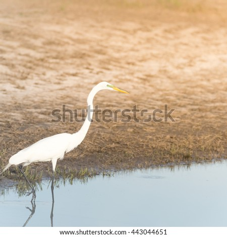 Great Egret (Ardea alba) around water in Houston, Texas, US. North America resident bird with completely white plumage, yellow bill, black legs and feet, s-curve neck,common heron of wetland and swamp