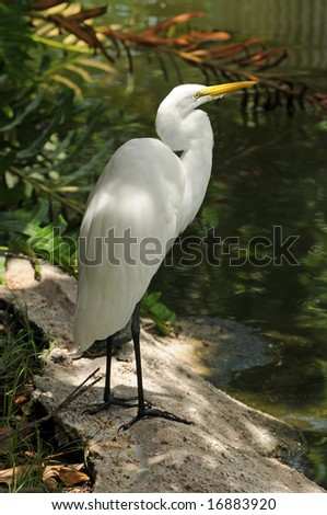 Great egret (ardea alba) common to Florida - stock photo