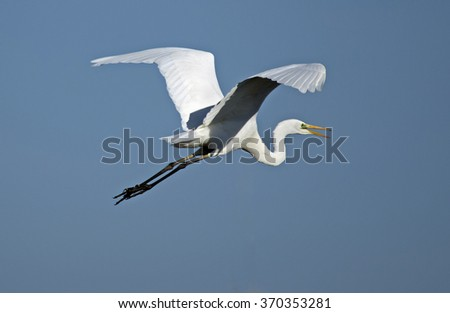 Great Egret (Ardea alba egretta) - stock photo