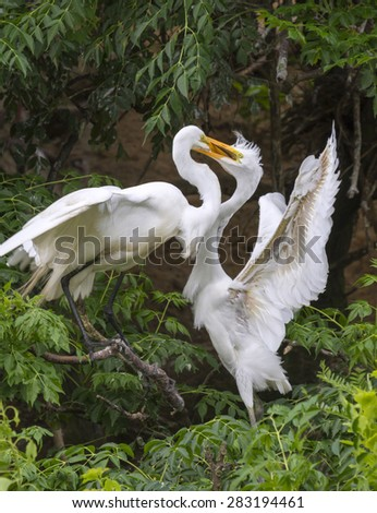 Great egret (Ardea alba) feeding a young at rookery, High Island, Texas, USA - stock photo