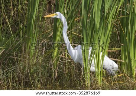Great Egret (Ardea alba) in a Cattail Marsh - Viera Wetlands, Florida - stock photo