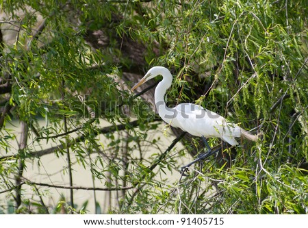 Great Egret (Ardea alba) in breeding plumage gathering nesting material from willow tree in swamps of  southern Louisiana. - stock photo
