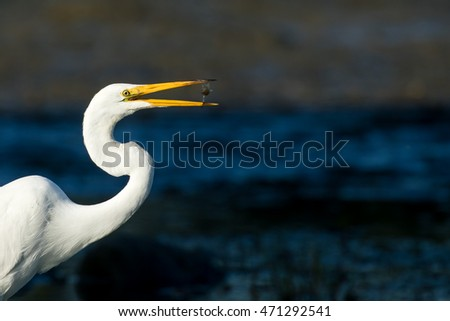 Great Egret - Ardea alba, portrait while fishing in a marsh.  Here the Egret flips the fish in the air to move  it from the bill-tip to throat.