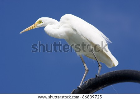 Great Egret (Ardea alba) Standing On A Seaside Lamppost - stock photo