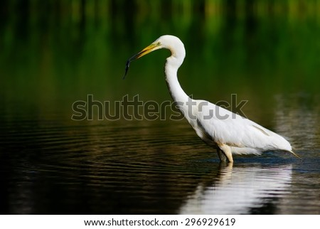 Great egret (Ardea alba) with fish